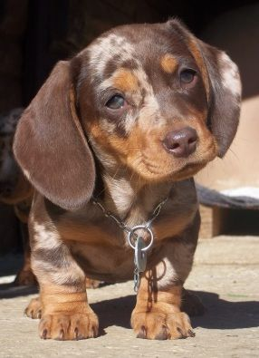 Chocolate Dapple Doxie Puppy Dachshund Puppy Miniature Dapple