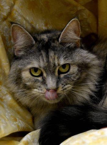 Adopt Gretel Aka Annabelle On Petfinder Norwegian Forest Cat Cat Love Fur Kids