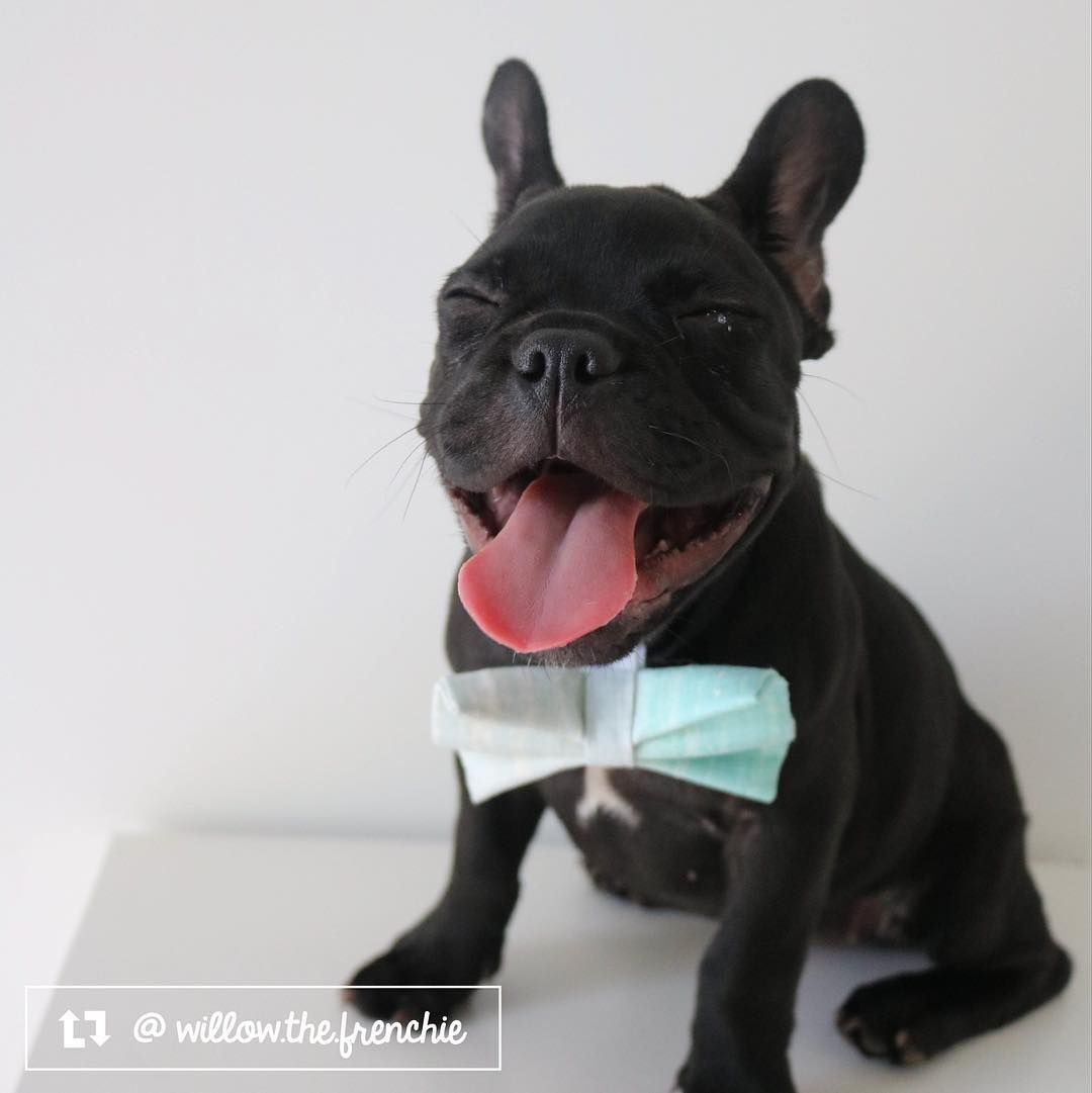 Willow The French Bulldog From The Sunshine Coast Qld Austrailia