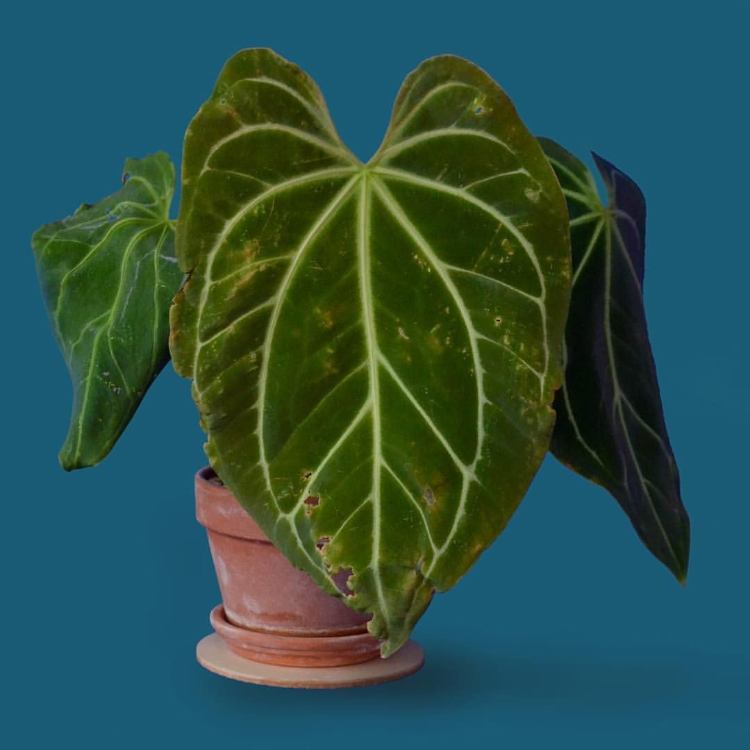 Anthurium Magnificum Not Perfect But Beautiful None The Less Scarring Seems To Be A Common Occurrence With Anthuriums My Susp Anthurium Plant Leaves Botanist