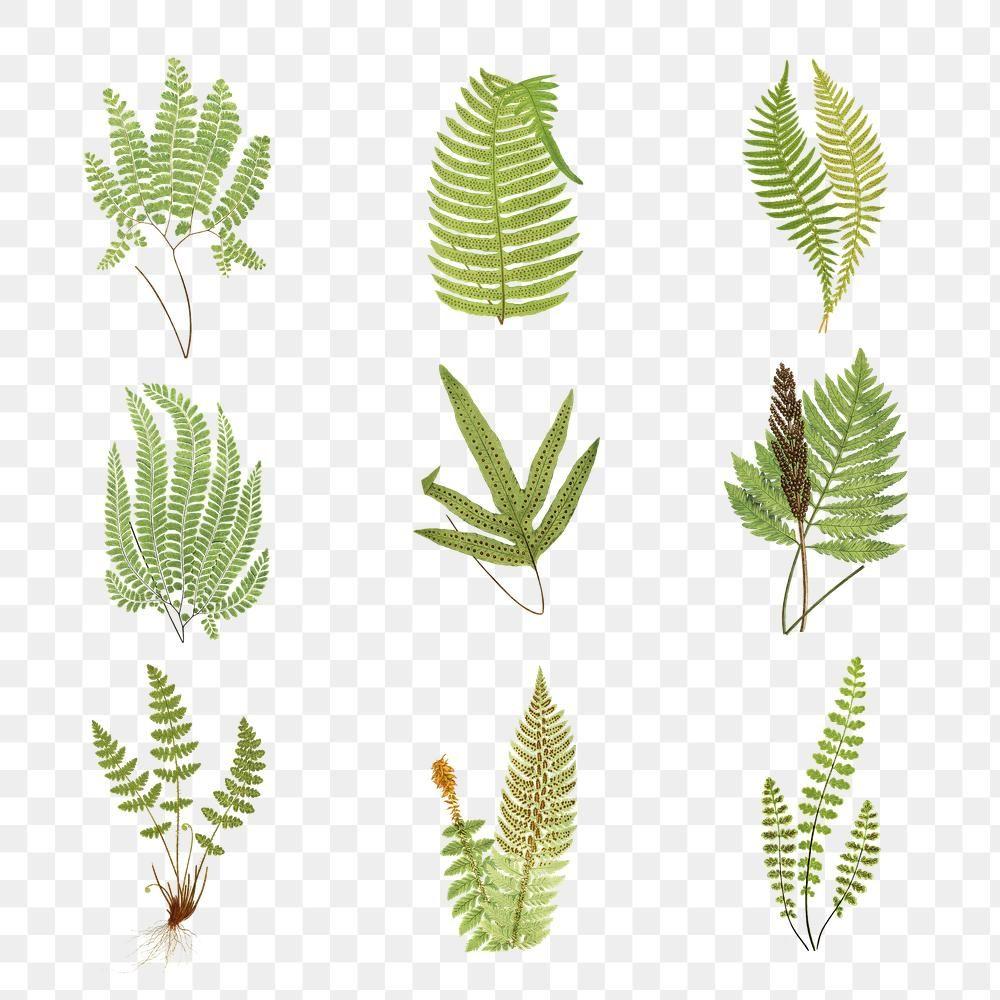 Set Of Fern Leaves Transparent Png Premium Image By Rawpixel Com Ployploy Leaf Illustration Png Vintage Illustration