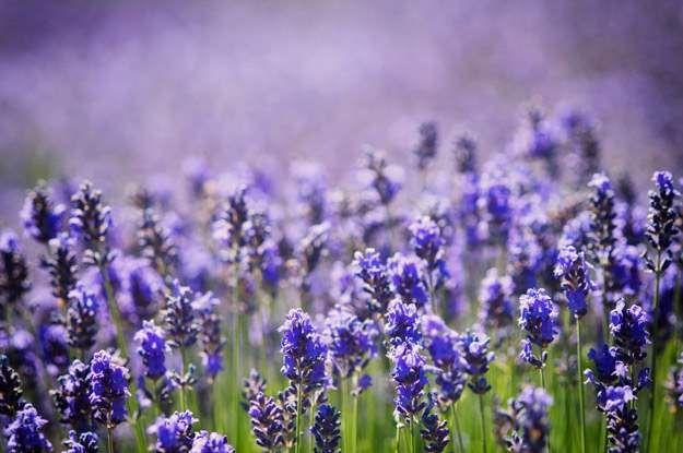 lavender group