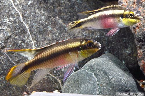Kribensis Cichlid Lrg Pelvicachromis Pulcher Cichlids African Cichlids Aquarium Fish