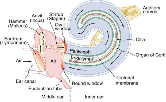 ear anatomy diagram labeled christmas origami flower inner vestibule great installation of wiring 580x356 speech and language rh pinterest com external outer oval window
