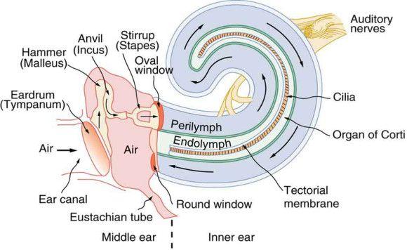 Inner Ear Diagram Schematics Wiring Diagrams