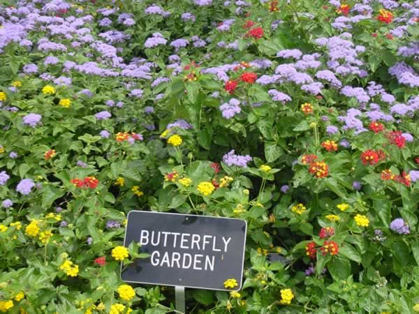 Lantana And Other Poisonous Plants Used In The Landscapes Butterfly Garden Plants Plants Butterfly Garden