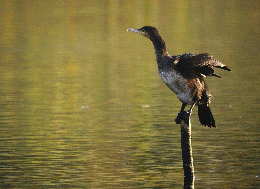 Gepind vanaf vroegevogels.vara.nl - Aalscholver