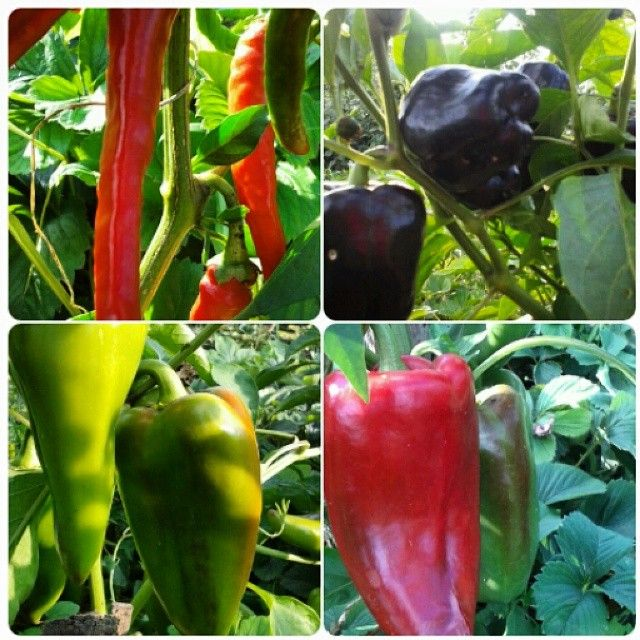 brankicababec's photo on Instagram #cili #amfora #plavalepotica #EtnosSajkas #chili #chilipepper #purplebeauty #purple #purplebeautypepper #amphorapepper #amphora #organicfood #organicgardening #organicpeppers #organskahrana #organicfarming #organskobastovanstvo #EtnosSajkas #myorganicgardening @klubzivetizdravije @urbangardenersrep @urbanorganicgardener