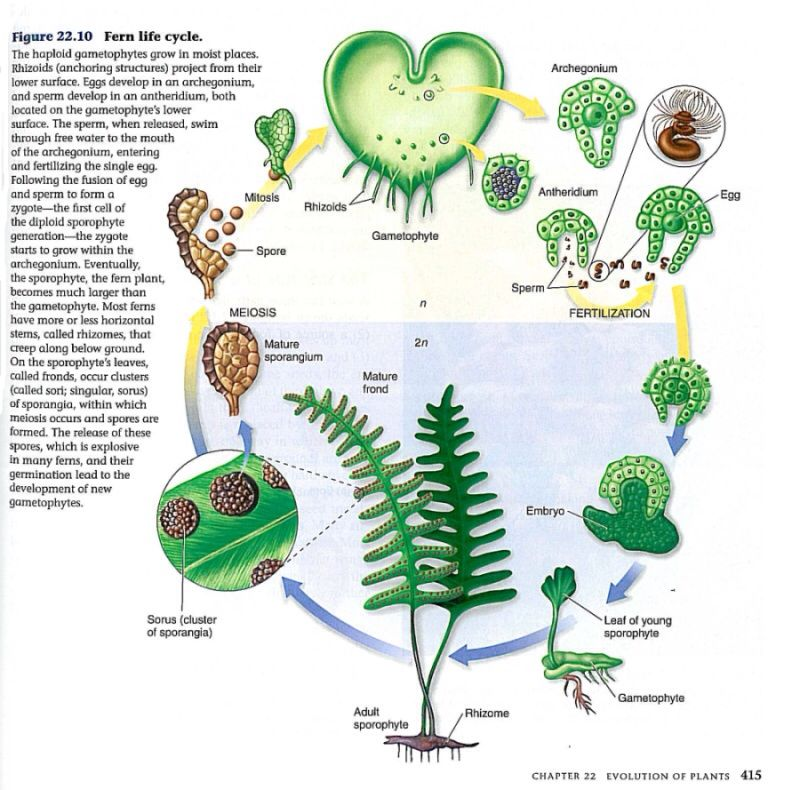 an observation of the life cycle of a c fern C-fern is particularly useful for introductory biology labs because of the ability to  observe and manipulate the developmental stages within the life cycle.