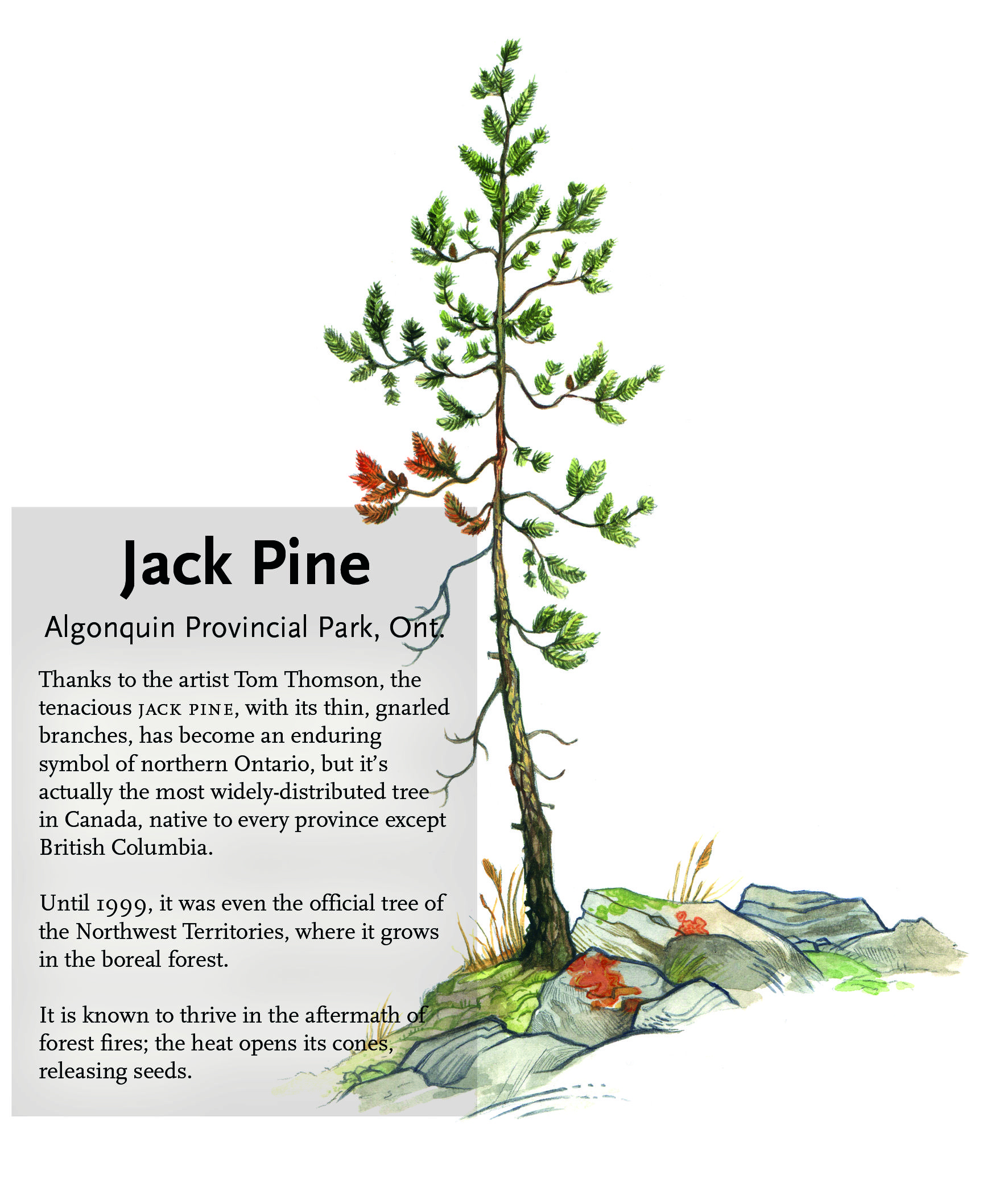 The jack pine is an enduring symbol of northern ontario but did seven iconic canadian trees biocorpaavc Choice Image
