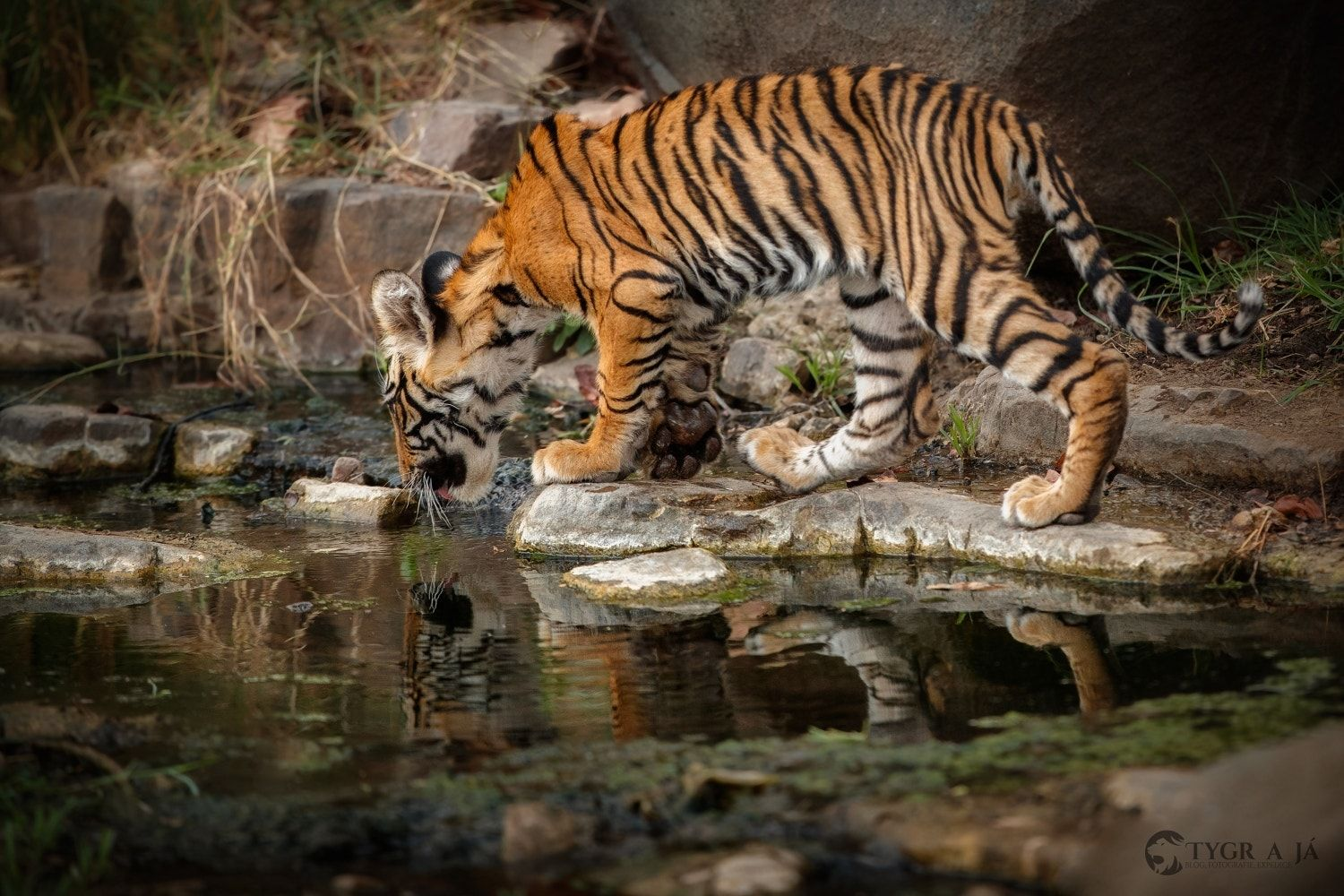 Snow White And The Tiger Mirror Mirror On The Wall Who S The Fairest Of Them All Www Tiger And Me Com Tiger Big Cats Animals