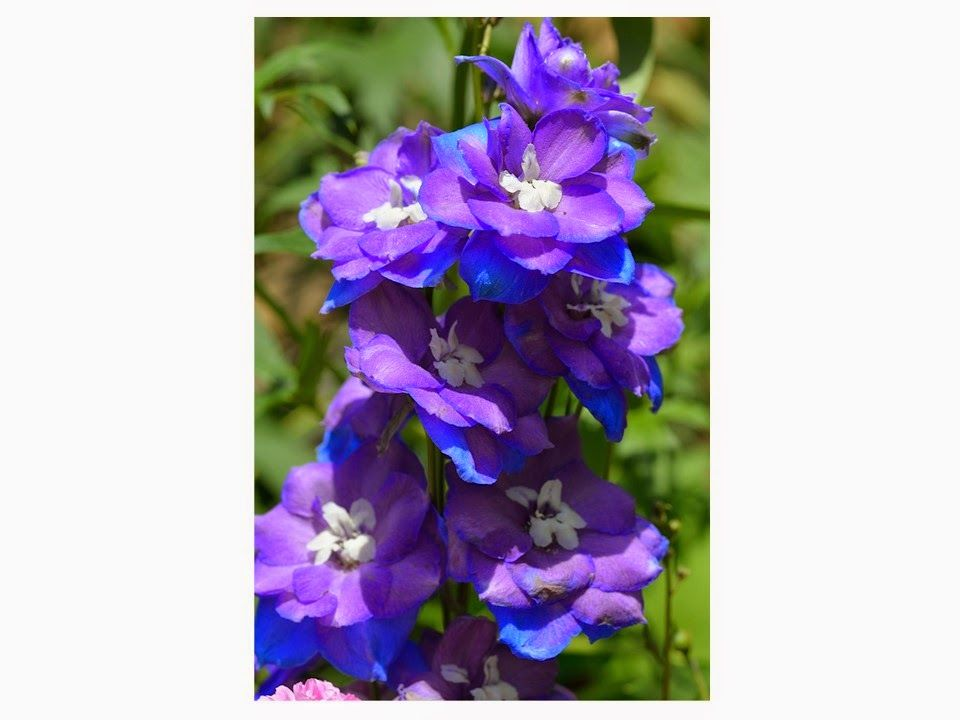 The Vivienne Files: Start with Flowers: Delphiniums