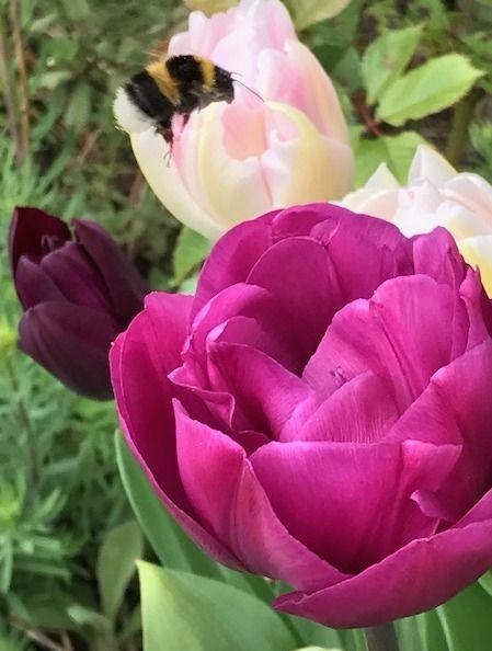 the blackberry garden: Wordless Wednesday - bee-line tulip