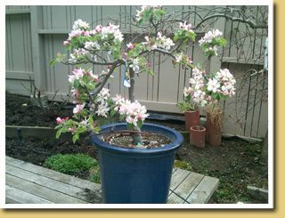 Flowering Weeping Santa Rosa Plum Ultra Dwarf Patio Tree
