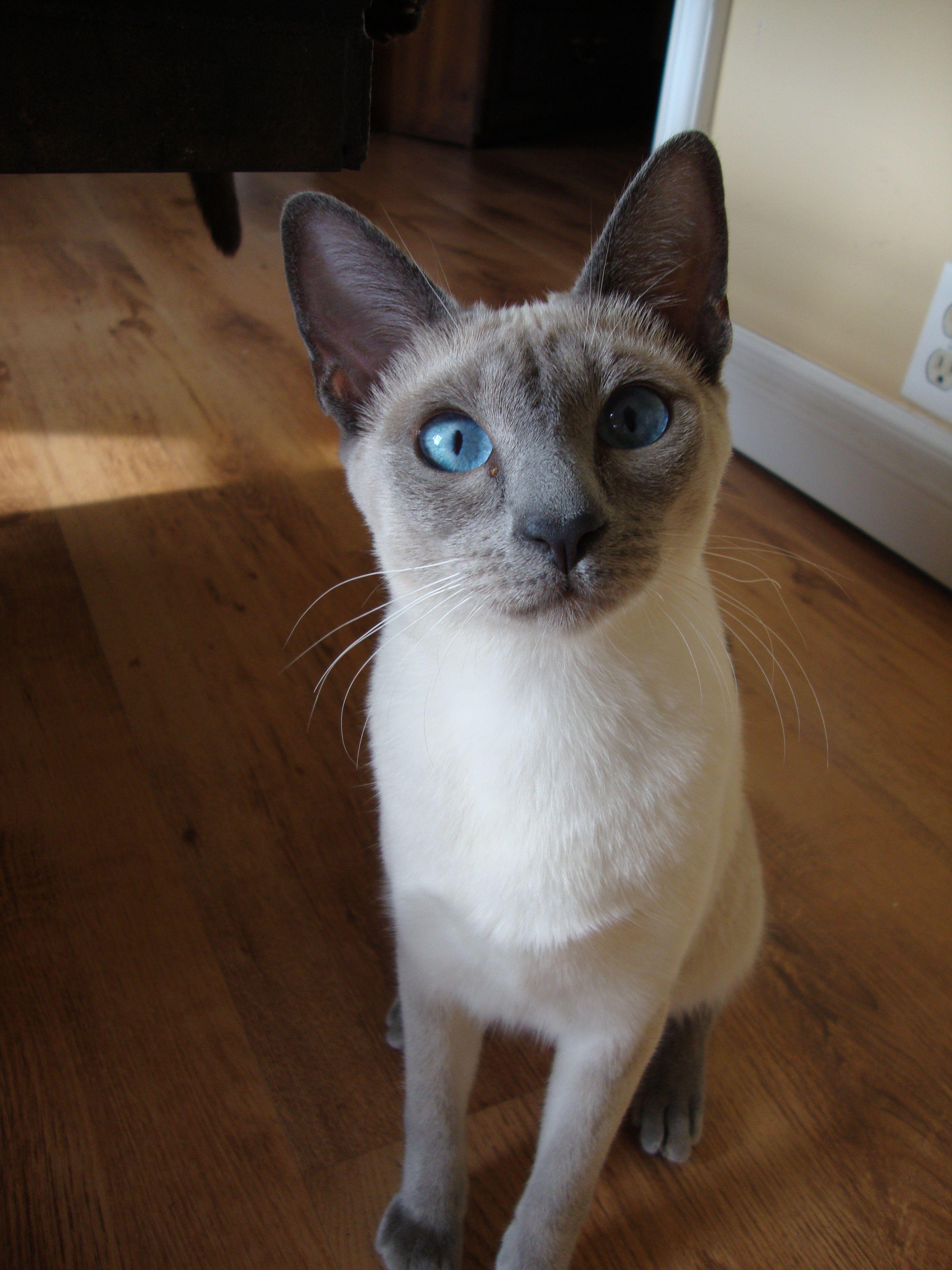 Inquisitive Blue Point Siamese Havana brown cat, Siamese