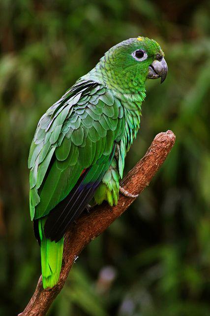 Mealy Amazon Parrot Amazon parrot, Parrot, Pet birds