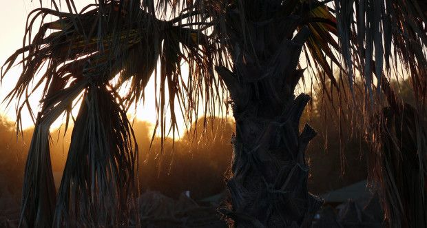 Palm trees in the evening sun.
