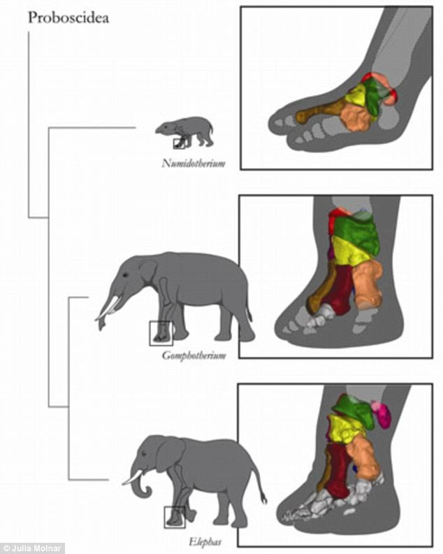 Mysterious \'sixth toe\' is confirmed in elephants - and bone is ...