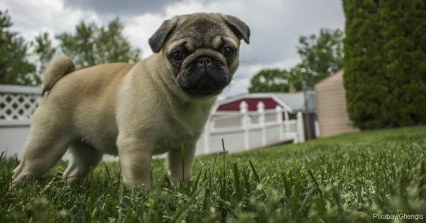 Why Are Dogs So Nosy Pugs Dog Daycare Pug Puppies