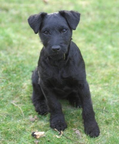 Patterdale Terrier Terrier Breeds Patterdale Terrier Patterdale Terrier Puppy