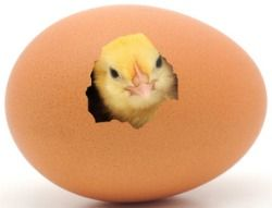hatching chicken eggs can be addicting be careful you may like it