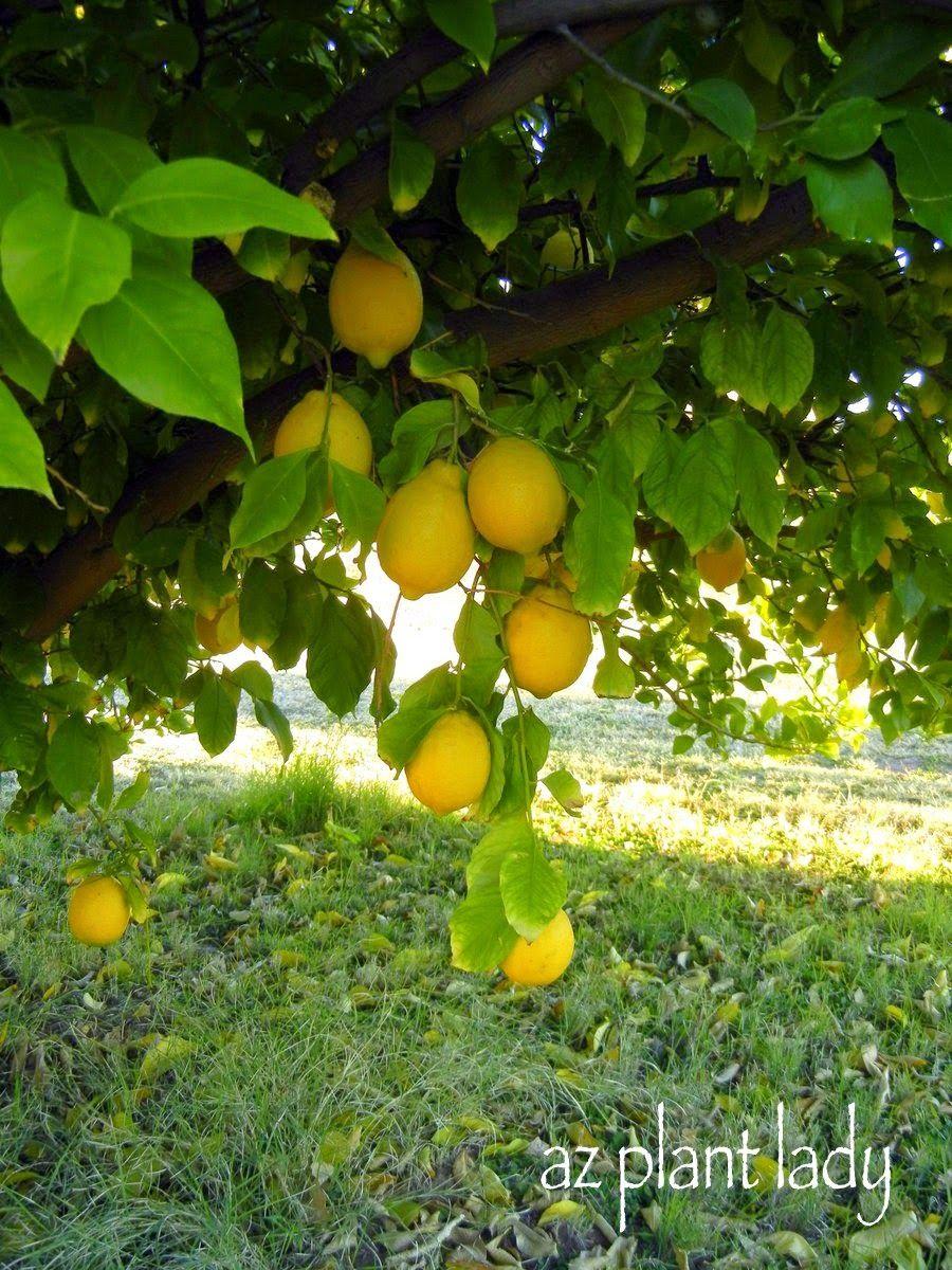 Got Lemons Make Your Own Diy Citrus Salt Ramblings From A Desert Garden Citrus Trees Grapefruit Tree Growing Fruit Trees