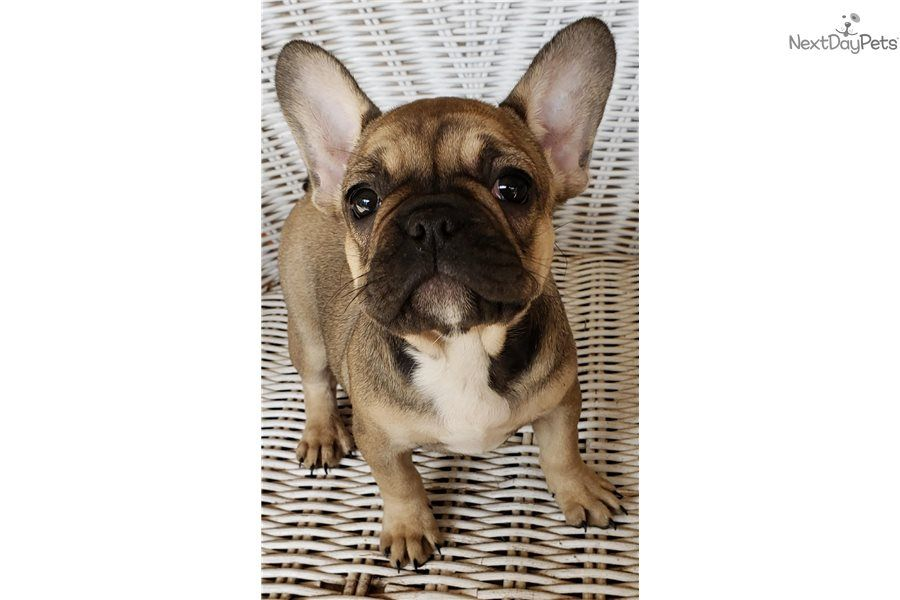 Remy French Bulldog Puppy For Sale Near Houston Texas 4ec84931