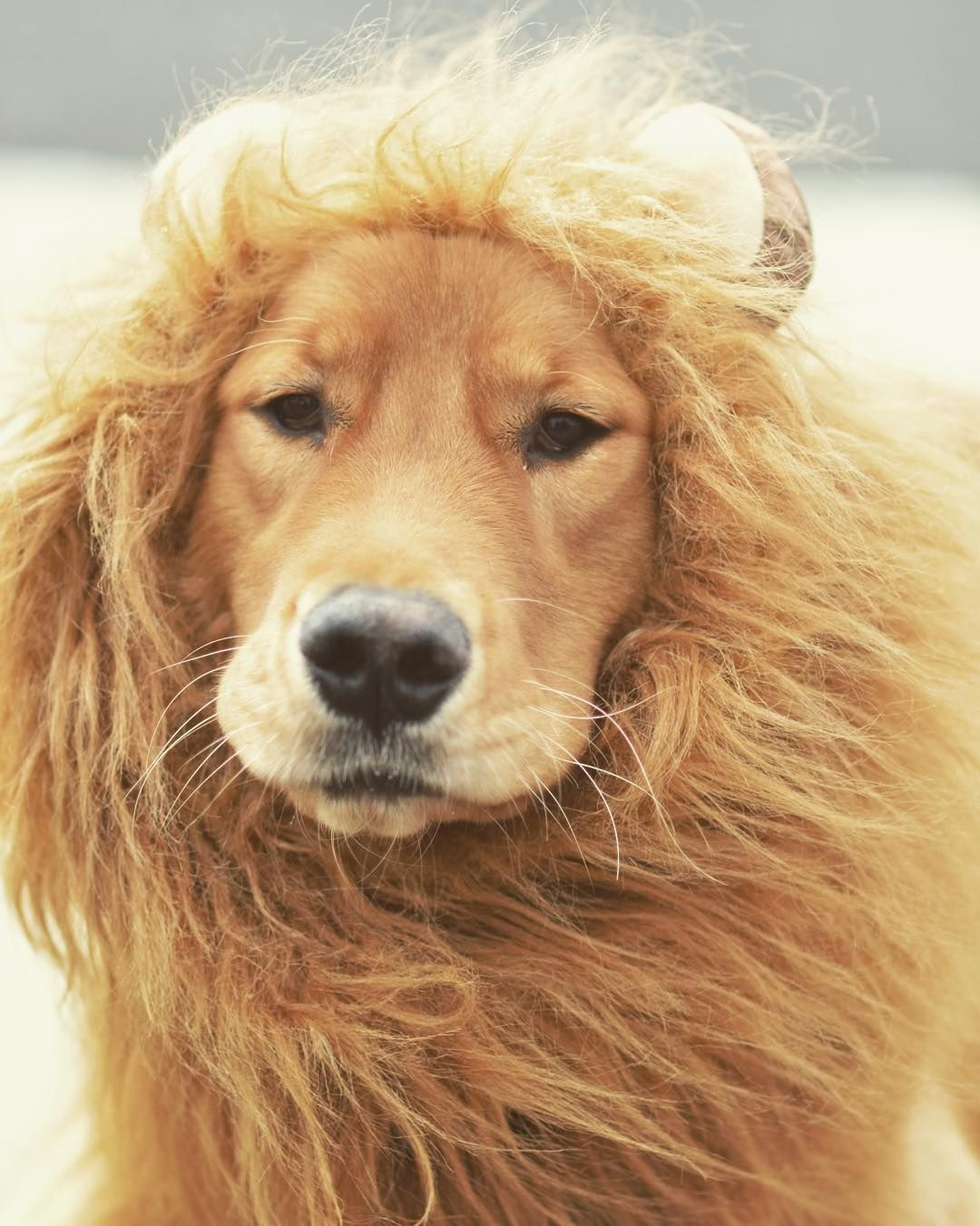 Happy Halloween From The Liog King Goldenmaximus Liondog Lion