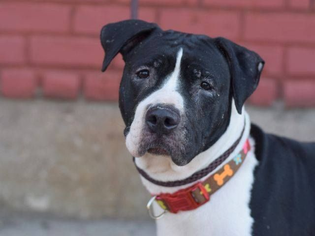 Bella A1035378 Brooklyn Publicly Adoptable To Be Destroyed 05 22 15 A Volunteer Writes What S Black And White And As Sw Dog Adoption Animal Rescue Animals