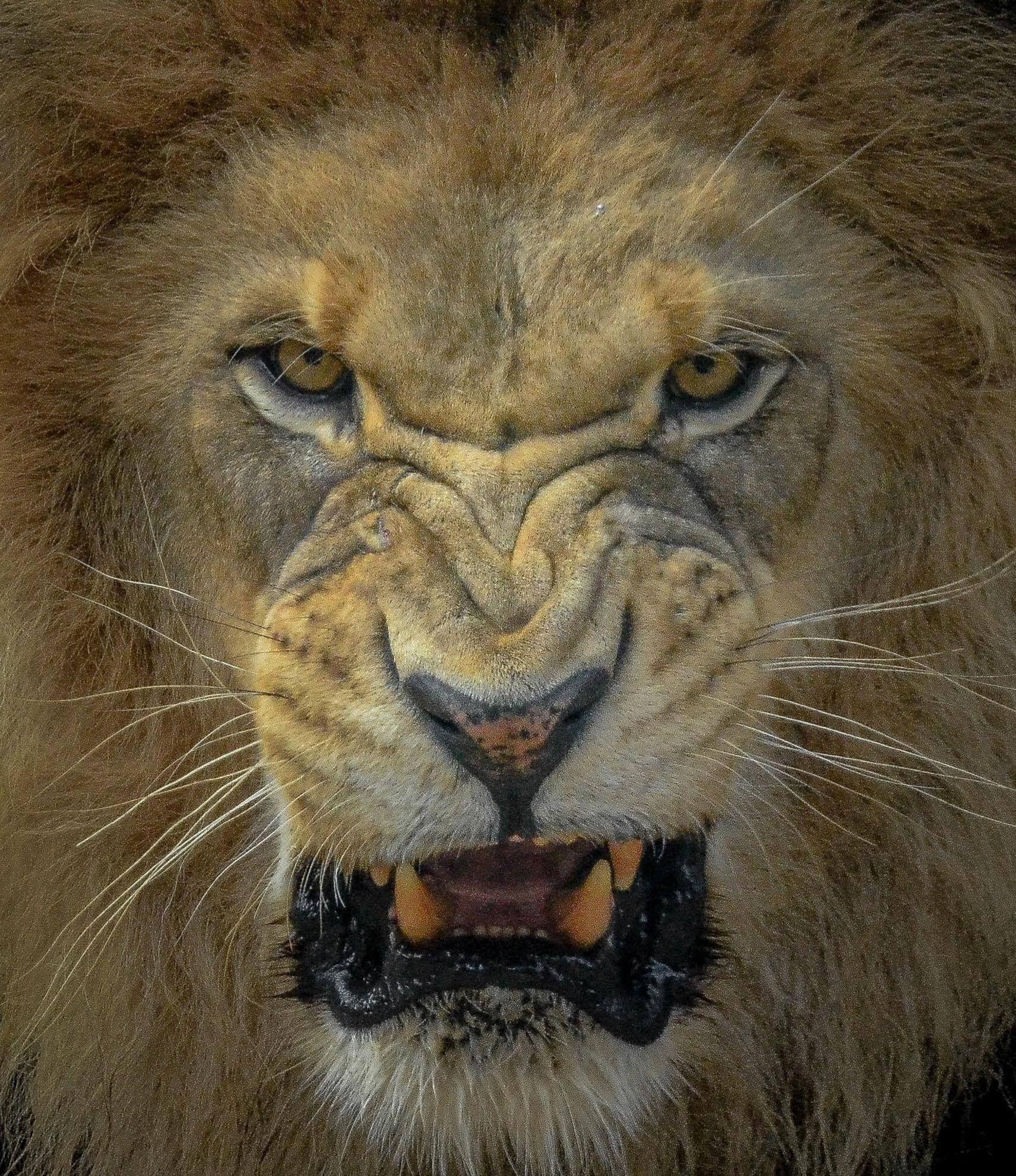 Growl Diego: Pin De Ryan Futterman Tattoos En Lion