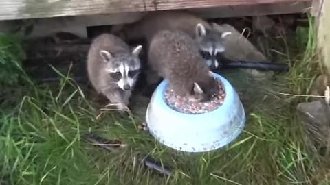 Raccoons eating cereal