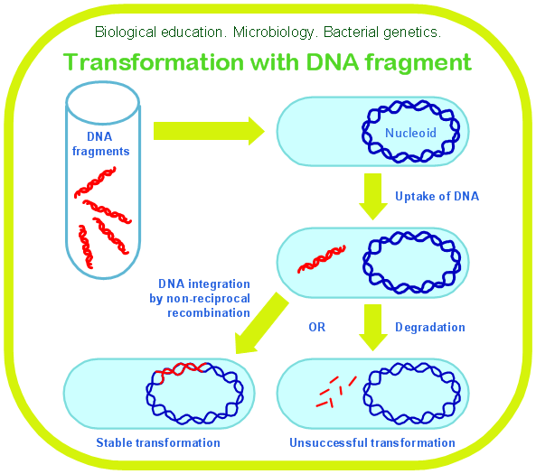 Microbiological diagram sample: Bacterial transformation with DNA ...