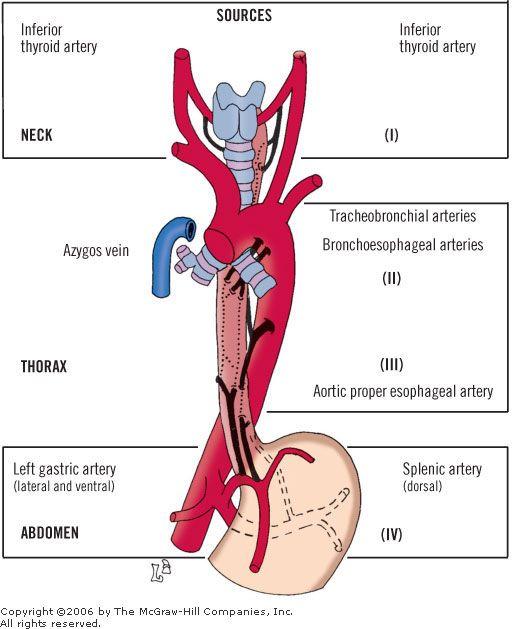 Esophagus Blood Supply Jcen Esophagus Pinterest Blood And