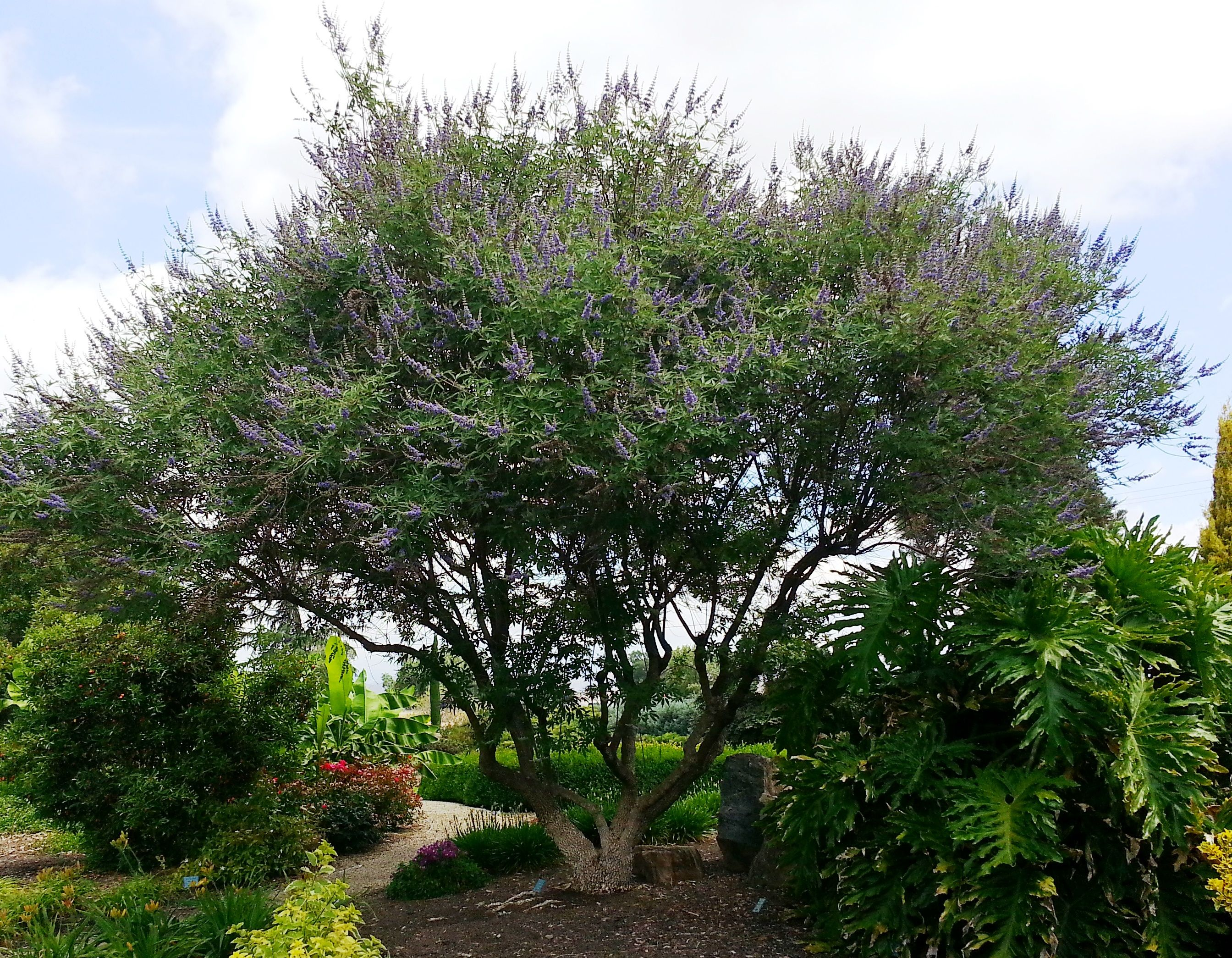 Chaste Tree: Beautiful Garden Or Patio Tree Shows Terminal Clusters Of  Fragrant Lilac Blooms. Broad And Spreading, Effective Multi Trunk Display.