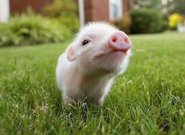 Выражение as fat as a pig