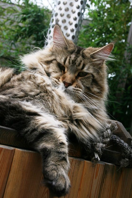 Pin Na Doske Favorite Big Cats Maine Coon And Norwegian Forestcat