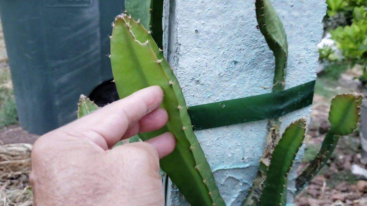 How To Train Your Dragon Fruit Plant To Grow Up The Trellis Post
