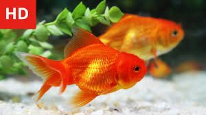 Image Result For Golden Fish Images In Hd Goldfish Fish