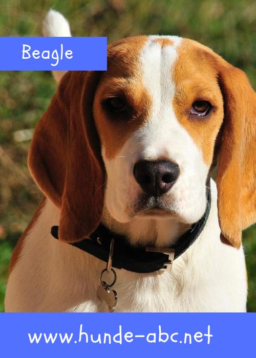 Der Beagle Jagdleidenschaft Und Temperament Lesen Sie Hier