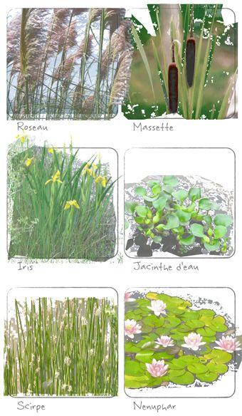 Plantes filtrant l 39 eau pour le traitement en for Plante bassin exterieur