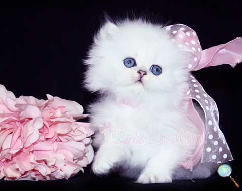 Baby Doll Face Kitten Persian Kittens Cute Cats And Dogs Beautiful Cats