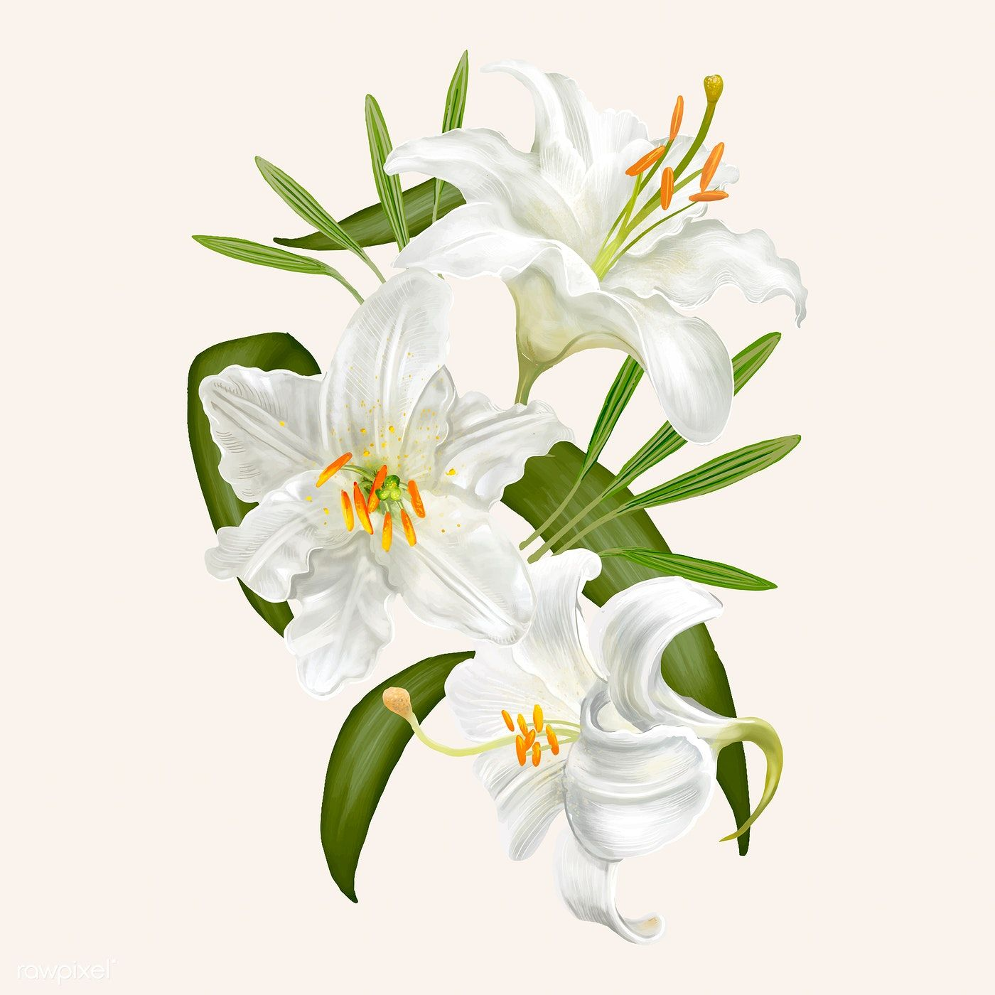 Download premium vector of Illustration drawing of Lily