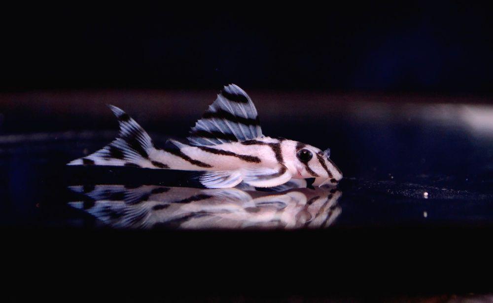 Freshwater Fish 1 Inch Zebra Pleco L 046 Suckermouth Catfish Rare Fish Freshwater Aquarium Fish Aquarium Fish