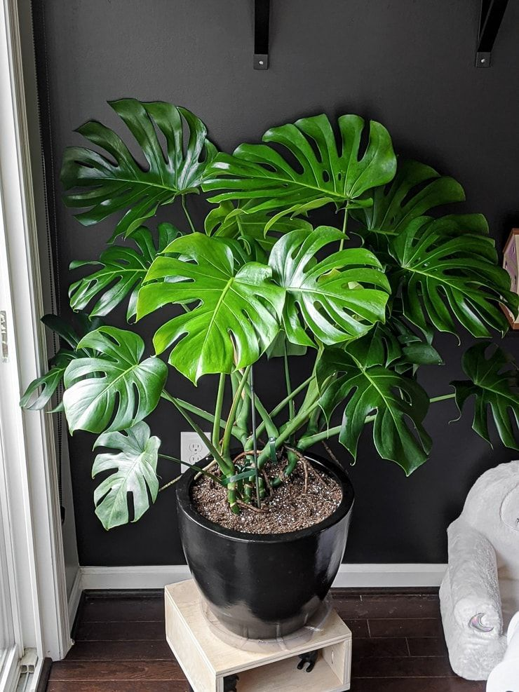 Monstera Deliciosa Care Guide Growing Monstera Deliciosa Indoors Tall Potted Plants Plants House Plants Indoor
