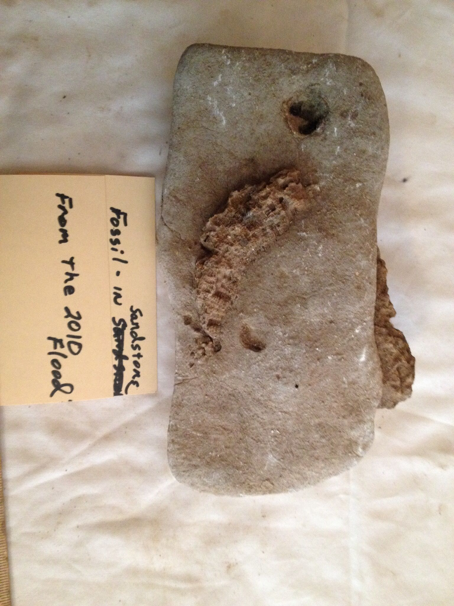 Fossil in sandstone. From the washout by the 2010 flood. Unidentified as of yet