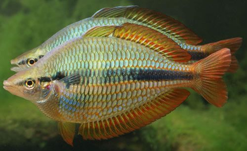 Australian Rainbow Fish Species Rainbow Fish Rainbow Fish