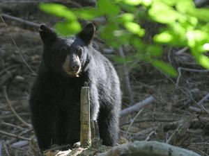 Encounters With Black Bears In Copper Harbor Michigan Yahoo Voices Voices Yahoo Com Animals That Hibernate Black Bear Animals