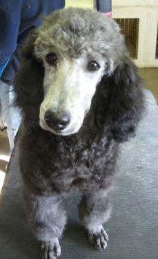 850 Arvada Co Standard Poodle Dogs And Puppies Poodle Dog