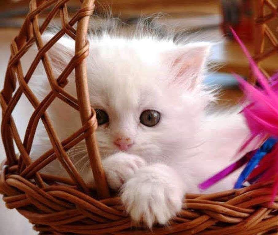 Adorable Fluffy White Kitten Cute Baby Cats Cute Cat Wallpaper Kittens Cutest Beautiful white kitten wallpaper