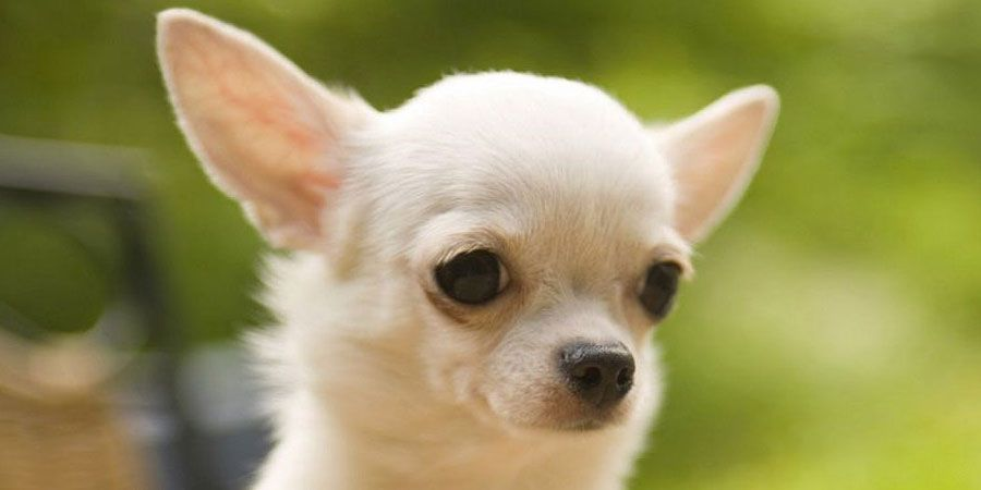 Chihuahua Price Temperament Life Span Chihuahua Puppies